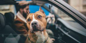 huisdieren auto
